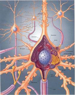 neurona almacena información
