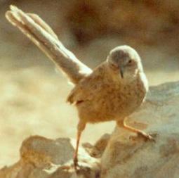 el pájaro altruista: arabian babbler